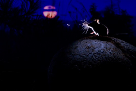The mouse, the moon and the mosquito by Alex Badyaev (Russia:USA)