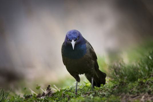 Angry Bird. A Common Grackle in Lawrence County, Illinois—Ryan Roush