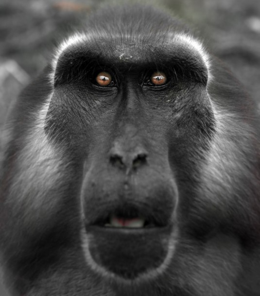 Macaque. Adulte macaque staring at me while I was photographing him in Paris, France—Bruce Thionville